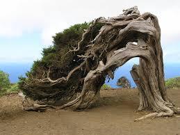 albero el sabinal el Hierro